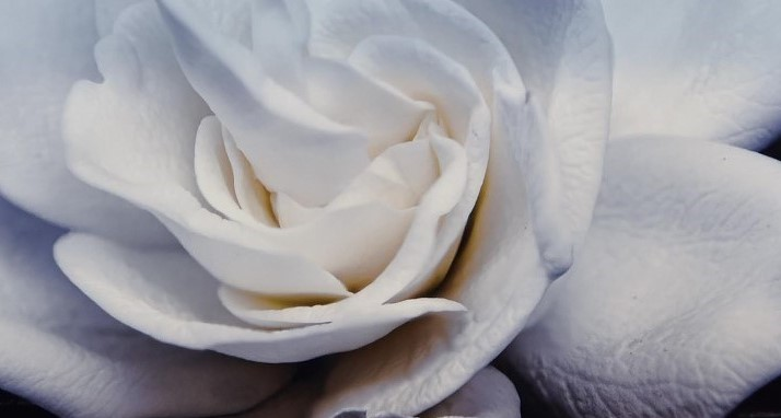 A close up of the centre of a white Gardenia flower